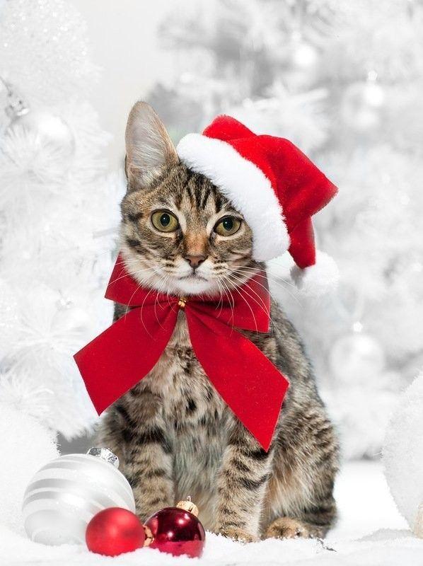 Noel chat - Image de chat de noel ...